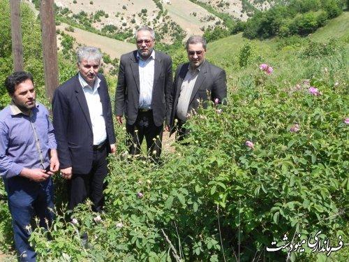 آغاز گلاب گیری از گل های محمدی در روستای کفش محله مینودشت