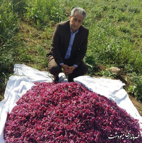 برداشت محصول گل گاوزبان در مینودشت